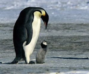 Penguin – Description, characteristics, structure.