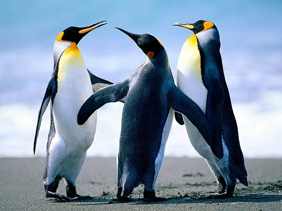 Penguins with yellow eyes